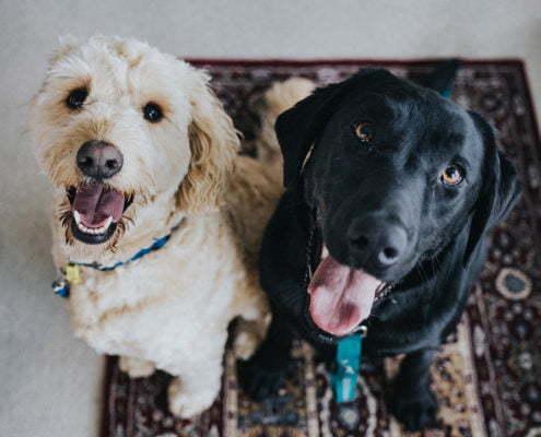 zwei Hunde suchen Hundesitting in Tuttlingen