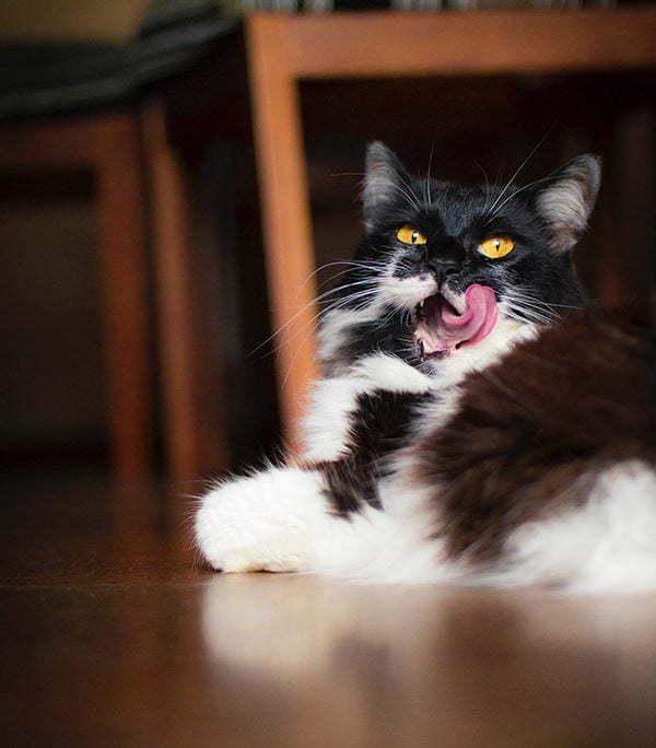 Schwarz weisse Katze mit einer Zunge